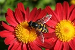 bigstock-Bee-887093-300x200