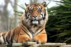 Tigers Printable