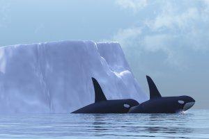 Killer Whales Printable